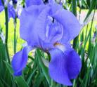 Iris for peaceful contemplation